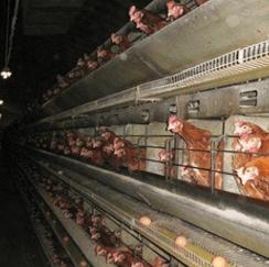 chickens_1-2