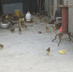chickens_1-7